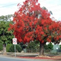 WWI Avenue of Honour - Cowslip Street, Illawarra Flame Trees