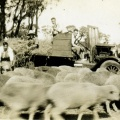 Feeding sheep in modified truck, Earlston. 1920's -30's
