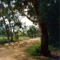 Sheep in Long Gully Road